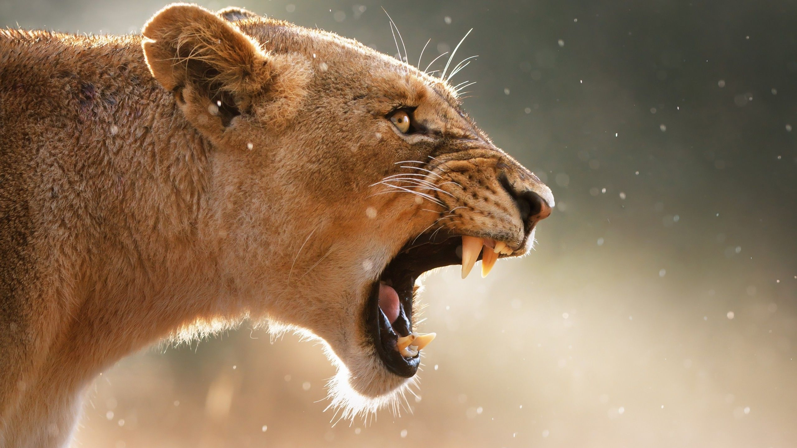 39829035-lioness-backgrounds-wallpapers